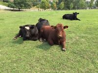 BEEF STEER QUARTERS FOR SALE