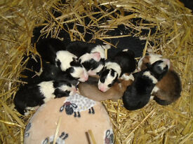 Border Collie Puppies ready April 6th