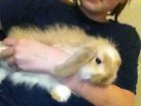 Bunny Rabbit 13 weeks old female