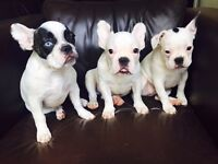 FRENCH BULLDOG BOY AND GIRL
