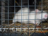 2 PET RATS + CAGE