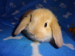 Gorgeous Purebreed Holland Lop Bunnies For Sale