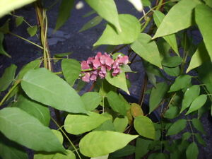 Apios americana Erdbirne Gemüse Kartoffel Heilpflanze Pflanze Topinambur staude