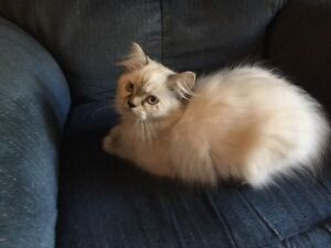 Himalayan Kittens Looking For New Homes
