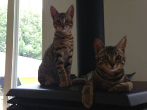Purebred Savannah Cubs (Kittens) - NEW LOWER PRICE!