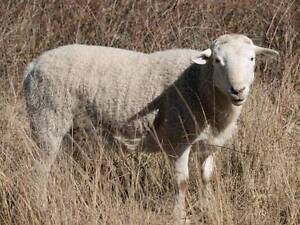 Dorper x Demara Rams Broke Singleton Area Preview