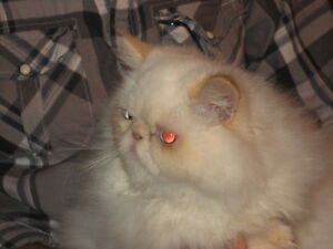 GORGEOUS FLAME PT HIMALAYAN PERSIAN 6 MO OLD GIRL, EXTREME FACE!