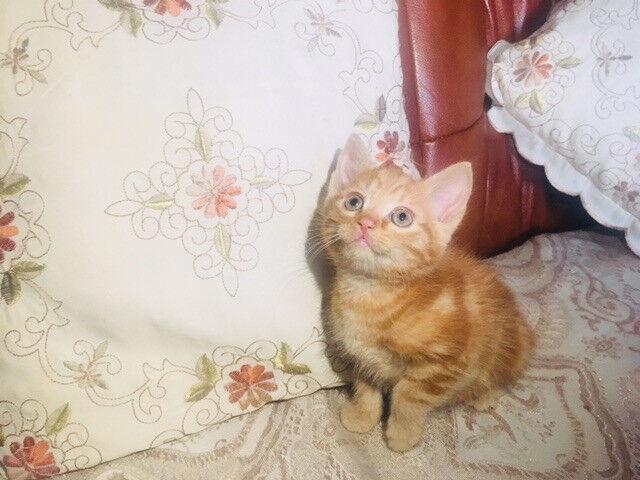 One male Kitten for sale