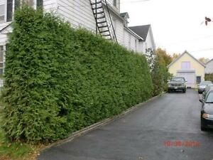 WHITE CEDAR TREES/PRIVACY HEDGE - FALL IS A GREAT TIME TO PLANT! Cambridge Kitchener Area image 3