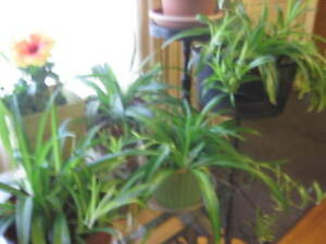 SPIDER PLANTS -STRATHROY