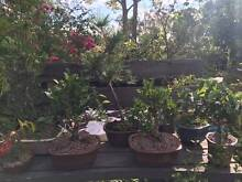 JAC rare plants -- established bonsai and rare bonsai starters Greenbank Logan Area Preview