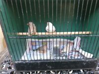 Zebra Finches, Various Mutations/Colours, Prices.