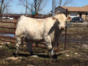 POLLED REGISTERED CHAROLAIS YEARLING BULL