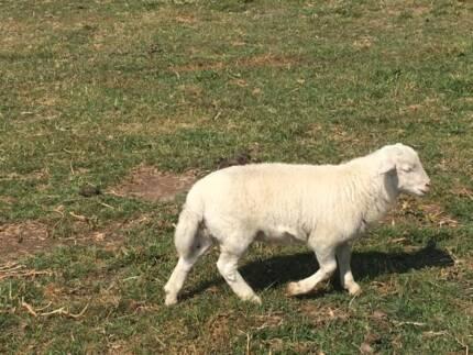 Young Dorper sheep ram