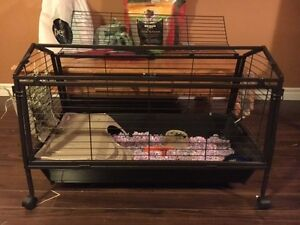 8 month old guinea pig with starter kit and cage St. John's Newfoundland image 1