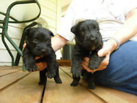 75% Scottish terrier X 25% West Highland White terrier pups