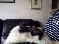 Adorable little Fluffy Female Tortie kitten. Ready now.