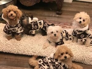 POODLE PUPPIES ready to go