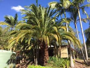 Canary Island Date Palm MATURE D'aguilar Moreton Area Preview