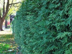 TOM & SONS CEDAR TREES & HEDGING