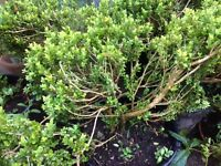 Mature Box Hedge Plants perfect for topiary, box balls, or instant hedge