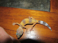 BEST PRICE IN TOWN -QUALITY LEOPARD GECKOS