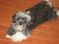 Litter HAVANESE dog NEEDS A HOME
