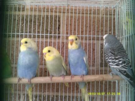 BABY BUDGIES Cessnock Cessnock Area Preview