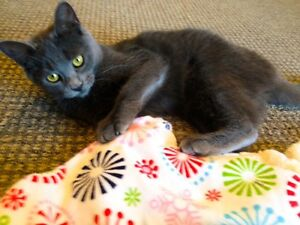 Meet VIOLET...Russian Blue Mix Kitten...Adorable,Adoptable London Ontario image 8