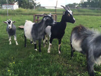 2 Female and 1 Male Pygmy goats, a 1 unknown Female goat