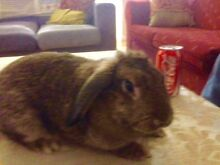 Found Brown lop rabbit Pearsall Wanneroo Area Preview