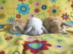 Adorable Baby Purebred Holland Lop Bunnies Ready to Leave.