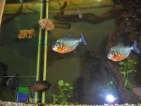 Recherche,, Recherche Piranha red belly