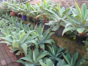 Potted cheap agave plants