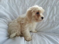 Cavachon Puppy for sale from pedigree parents. Puppy like King Charles and Bichon Frise puppies dog