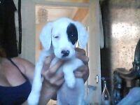 bedlington terrtor cross jack russel pup