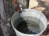 maple sap wanyed 25 gallons or more we buy maple sap