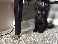 Black Long Haired Girl Kitten for Sale