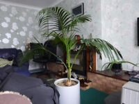 parlour palm about 5 feet high and 4feet width reason for selling ,.now too big for living room
