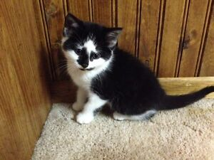 3 Adorable Kittens Looking for New Homes Strathcona County Edmonton Area image 4