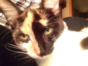 KLAWS: Found young female kitty, thrown from vehicle in Lindsay