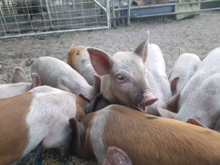 Spit Pigs for sale