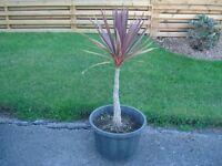 Cordaline plant in pot.