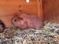 Sow & Boar Baby Guinea Pigs ready now smooth/long/tuffted diff colours