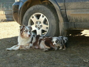 Australian Shepherd pups for sale