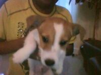 Cute Adorable puppy Jack Russell Male URGENT FREE equipment and all injections up to date