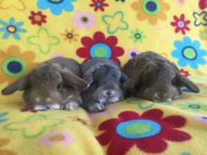 Baby Purebred Holland Lops Bunnies Ready to Leave
