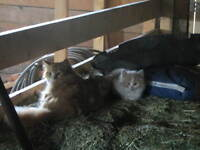 Red & White Kittens - Free to Good Home