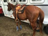 Registered QH - 2 Canadian Bred Horses