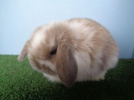 Mini Lop Rabbits Horsham 3400 Horsham Area Preview